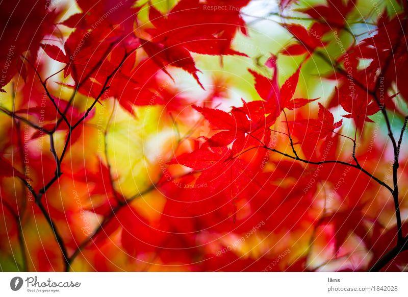 Farbspiel . . Herbst bunt Laub Japanischer Ahorn rot grün