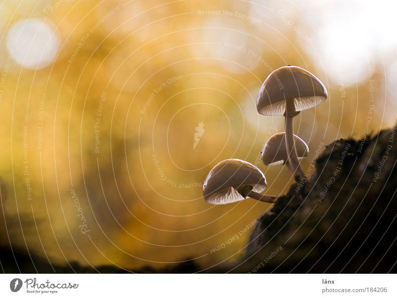 Pilzgericht Natur Pflanze Umwelt Landschaft Herbst glänzend Laubwald