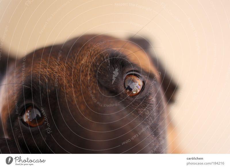 """""""Schau mir in die Augen.... Hund Tier Auge Traurigkeit braun Wunsch Kommunizieren Zusammenhalt Haustier Seele Treue loyal Begleiter Vogelperspektive Hundeblick Hundekopf"""