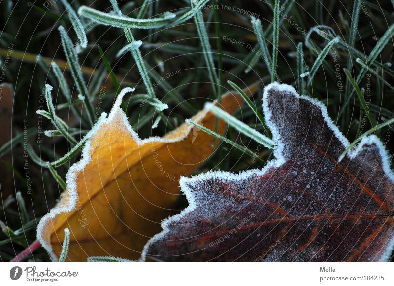 Kalt ist's Farbfoto mehrfarbig Außenaufnahme Menschenleer Tag Umwelt Natur Pflanze Erde Winter Klima Eis Frost Blatt Wiese frieren liegen kalt Stimmung ruhig