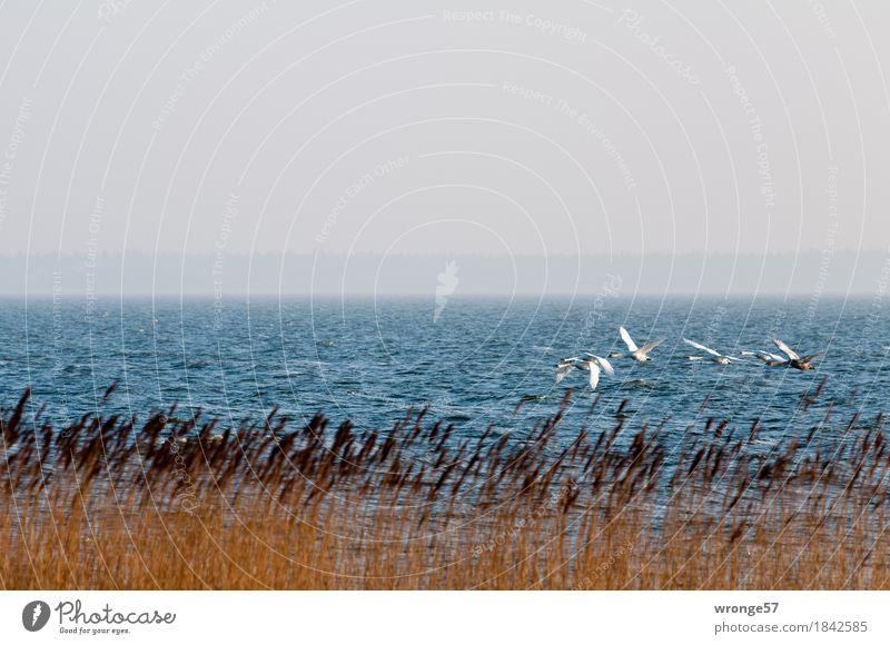 Tiefflieger Natur blau weiß Landschaft Tier Küste grau braun fliegen Vogel Wellen Wildtier Tiergruppe Ostsee Schwan Vogelschwarm