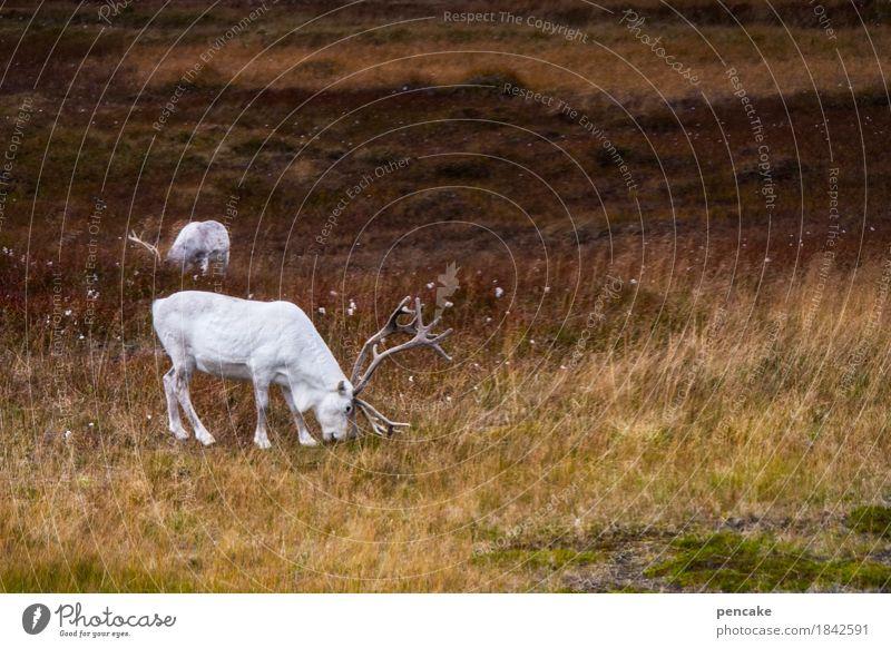 wilde | weißheiten Natur Landschaft Herbst Nutztier Wildtier 2 Tier ästhetisch außergewöhnlich Rentier Fell Norwegen Nordkap Horn Fressen Fjäll nordisch