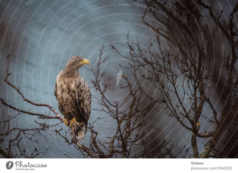 Aquila Natur Küste Fjord Wildtier Vogel Adler Steinadler 1 Tier beobachten braun Kraft freie Wildbahn Greifvogel Norwegen Unschärfe Tierporträt