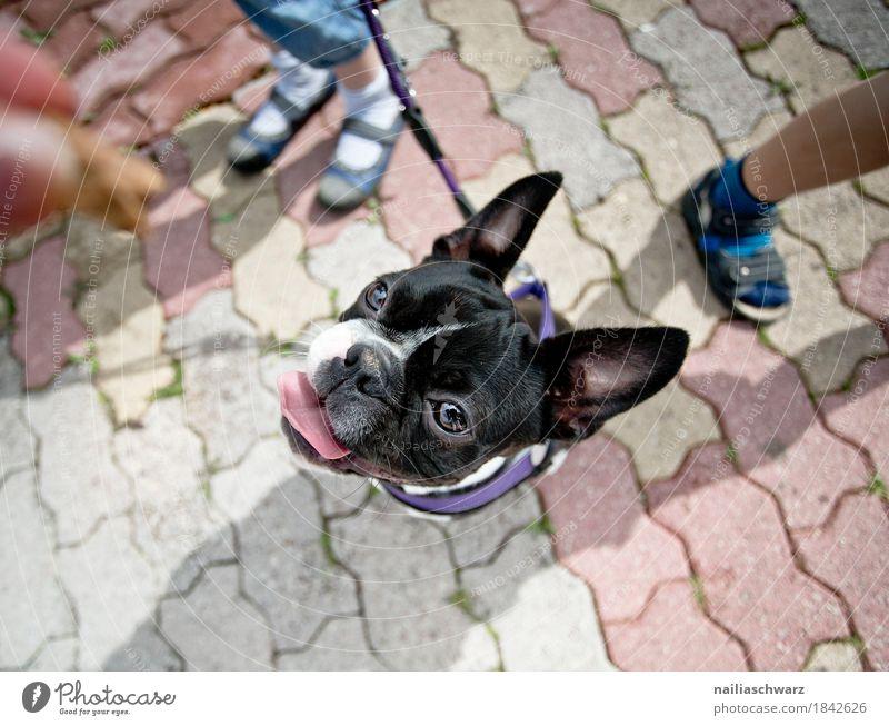 Boston Terrier Portrait Freude Kind Beine Tier Haustier Hund Tiergesicht französische Bulldogge 1 Tierjunges Stein beobachten entdecken lernen Blick warten