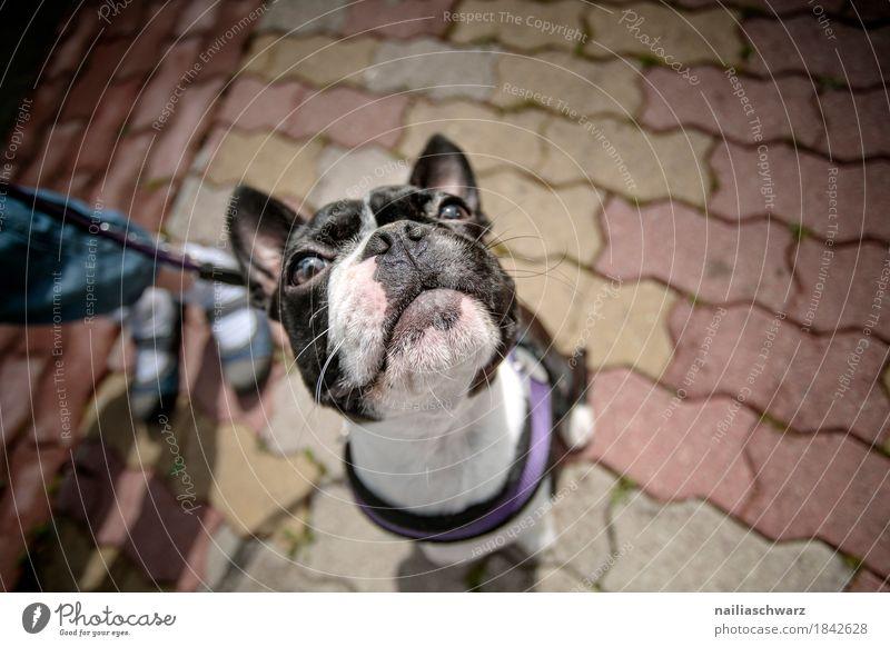 Boston Terrier Portrait Freude Kind Beine Tier Haustier Hund Tiergesicht französische bulldogge 1 Tierjunges beobachten lernen Blick warten frech Freundlichkeit