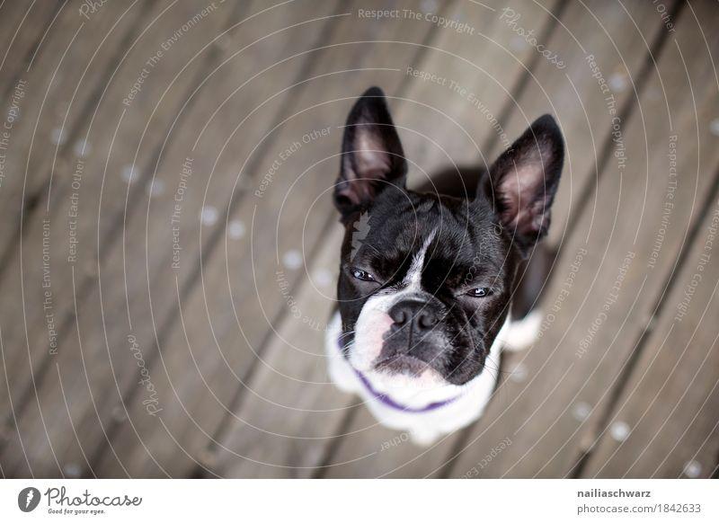 Boston Terrier Portrait Hund Tier Freude lustig Holz Stimmung sitzen niedlich beobachten Coolness Haustier selbstbewußt Tiergesicht frech Erwartung