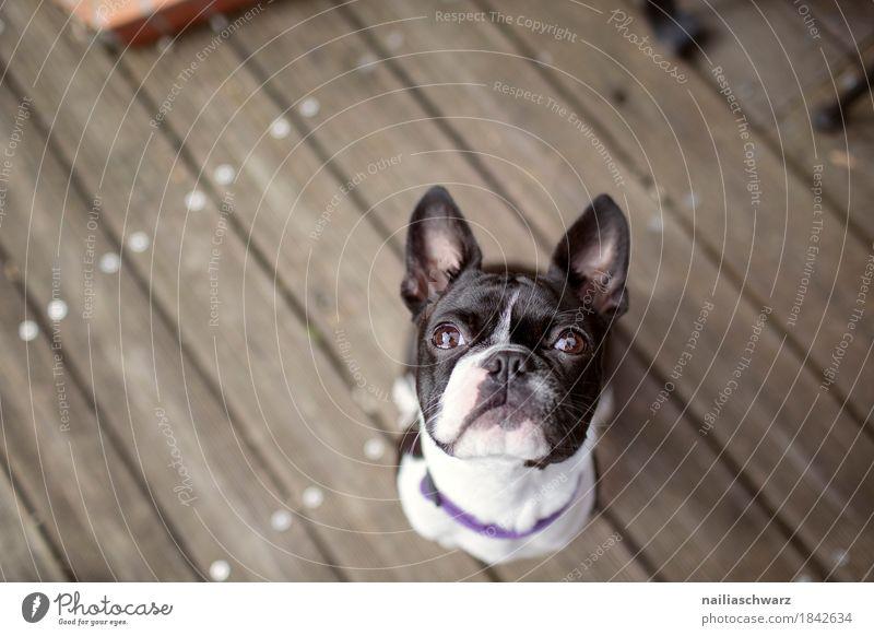 Boston Terrier Portrait Hund Tier Freude Tierjunges lustig Holz Glück Zufriedenheit Fröhlichkeit lernen warten niedlich beobachten Freundlichkeit Neugier