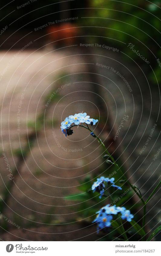 Das Lächeln der Erde Natur schön Blume blau Pflanze Sommer Einsamkeit Farbe Leben Blüte Garten grau Stein Linie braun Umwelt