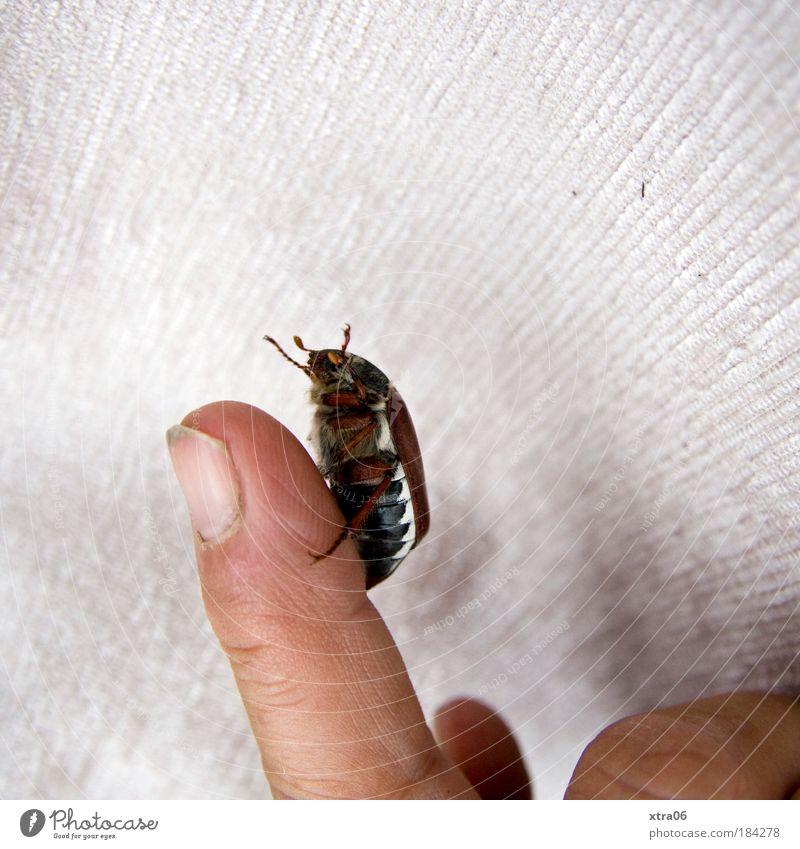 aufwärts Farbfoto Innenaufnahme Nahaufnahme Textfreiraum rechts Textfreiraum oben Finger Käfer 1 Tier festhalten krabbeln Fingernagel Maikäfer Fühler Insekt