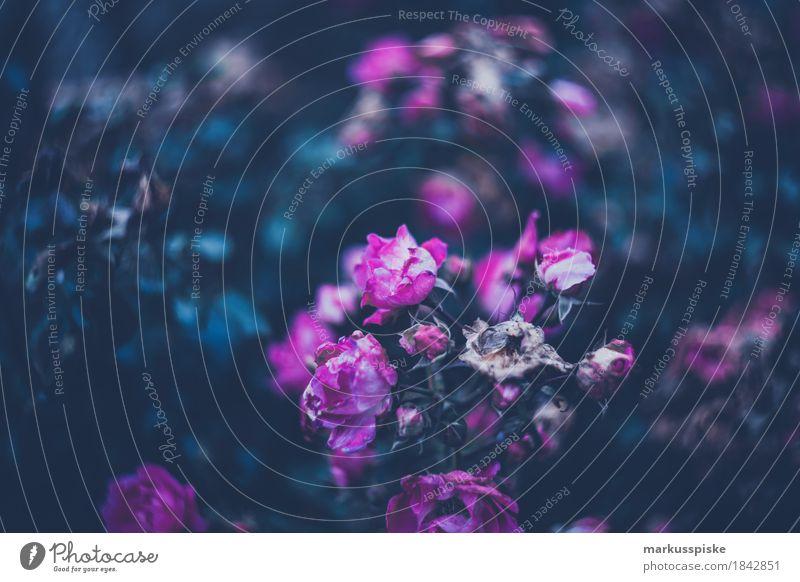 verwelkte Rosen Natur Pflanze schön Blume Haus dunkel Umwelt Lifestyle Garten Feste & Feiern rosa Arbeit & Erwerbstätigkeit Freizeit & Hobby Zufriedenheit