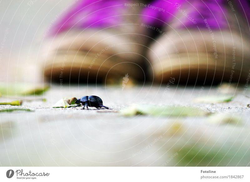 Ey! Rechts vor links! Umwelt Natur Pflanze Tier Erde Herbst Schönes Wetter Blatt Käfer 1 frei klein natürlich braun grau violett schwarz krabbeln Schuhe