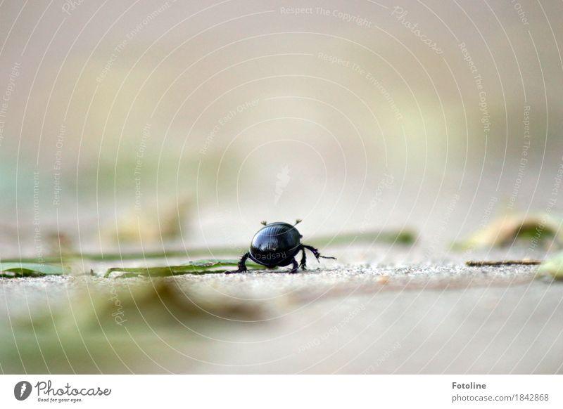 Und tschüß Umwelt Pflanze Tier Urelemente Erde Herbst Schönes Wetter Blatt Käfer 1 frei klein natürlich grau grün schwarz krabbeln Mistkäfer Farbfoto mehrfarbig