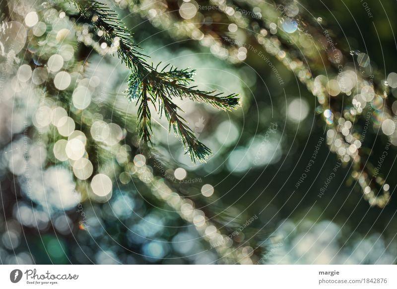 Weihnachtliches Glitzern, Tannenzweig, viele Lichter Feste & Feiern Weihnachten & Advent Eis Frost Schnee Schneefall Baum Grünpflanze blau grün Tannennadel
