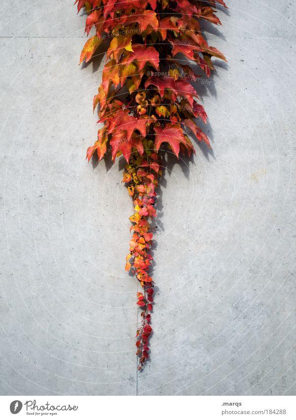 Roter Oktober Natur Pflanze rot Blatt Farbe Herbst einfach Spitze leuchten Symmetrie zentral nachhaltig Willensstärke verblüht