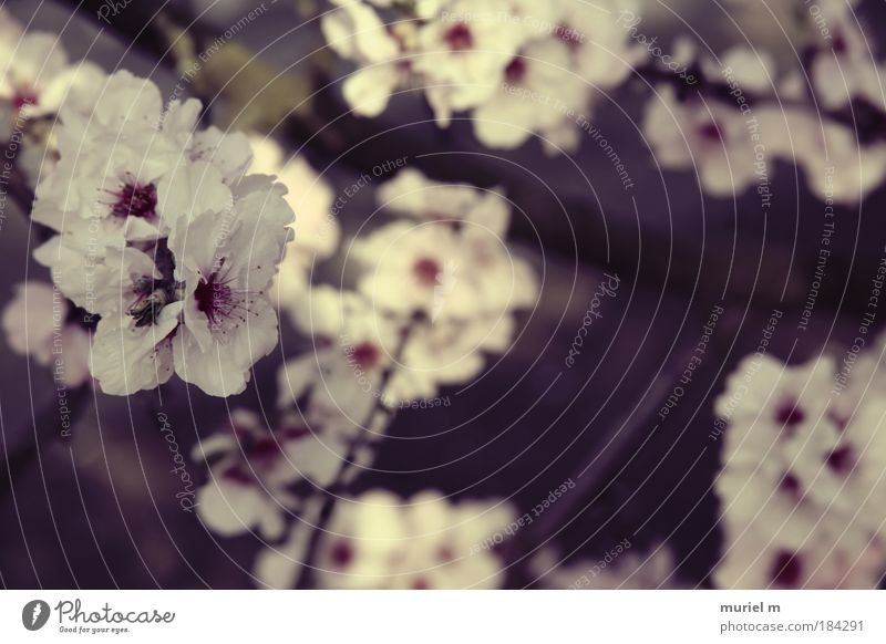lila Mandelbaum Pflanze weiß Sonne Blume rot schwarz Frühling Lebensmittel braun rosa Park Frucht Wachstum frisch Ast Blühend