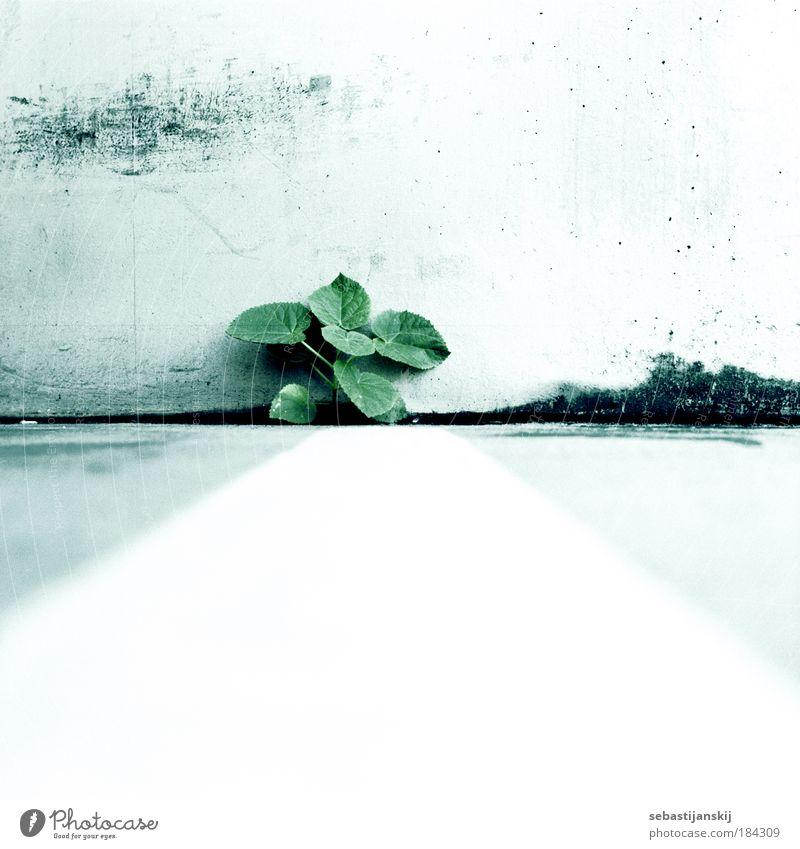Pflanze Natur grün schön Pflanze Einsamkeit Wand Umwelt Gefühle grau Mauer Kraft Erfolg authentisch außergewöhnlich Sträucher einzigartig