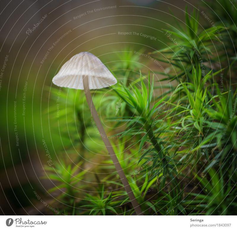 Leuchtschirm Natur Pflanze Tier Herbst Moos Park Wald Wachstum Pilz Pilzhut Pilzsucher Farbfoto mehrfarbig Außenaufnahme Nahaufnahme Detailaufnahme Menschenleer