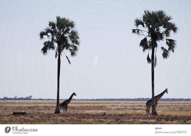 unter Palmen Gedeckte Farben Außenaufnahme Textfreiraum oben Textfreiraum Mitte Tag Landschaft Baum Gras Ebene Wildtier Giraffe 2 Tier Tierjunges Symmetrie