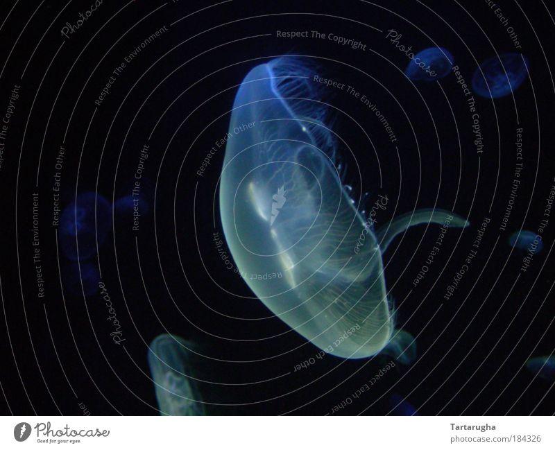 Ruhe in der Tiefe (blaues Squishi) Natur schön Meer blau schwarz Tier dunkel kalt elegant Umwelt Unterwasseraufnahme ästhetisch Tiergruppe einfach rein tauchen