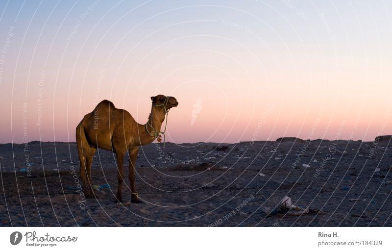 Wo bleibt da die Romantik ? Natur Tier Sand Wärme Kamel Landschaft warten dreckig Armut Umwelt Erde Ordnung Abenteuer stehen Dämmerung Müll