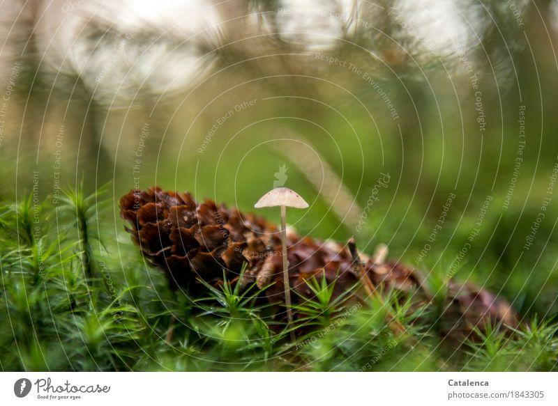 Beistand Natur Pflanze Herbst Moos Zapfen Pilz Wald entdecken dehydrieren elegant klein natürlich braun grün Schutz Vorsicht Design Umwelt Farbfoto mehrfarbig