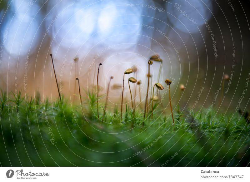 Lage sondieren Natur Pflanze Herbst Schönes Wetter Moos Grünpflanze Mossfruchtkörper Wald Blühend dehydrieren wandern schön blau braun grün Erfolg Leben