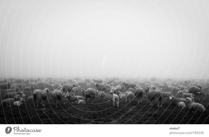 Wolkenschäfchen Schwarzweißfoto Landschaft Nebel Nutztier Herde Ferne kalt Zusammensein ruhig Natur Schaf Lamm Morgennebel Schafherde
