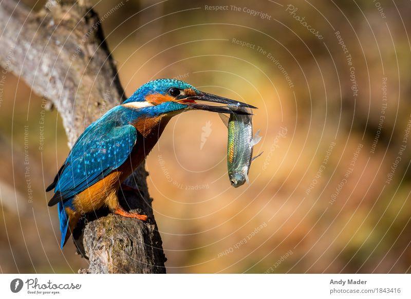 The Kingfisher ( Eisvogel ) Natur Tier Wildtier Vogel Schuppen Fisch 2 beobachten blau animal kingfisher portrait blue water river bird fishing wildlife bright