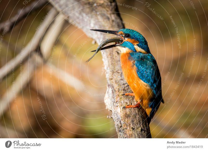 The Kingfisher ( Eisvogel ) Natur blau schön Tier Hintergrundbild Vogel orange glänzend Wildtier beobachten Fisch