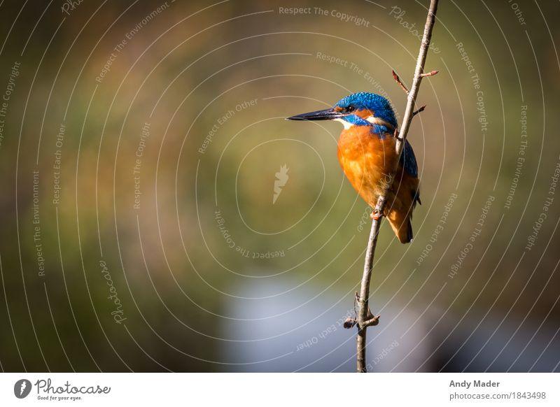 The Kingfisher ( Eisvogel ) Natur blau Tier Hintergrundbild Vogel orange glänzend Wildtier ästhetisch exotisch Single Eisvögel