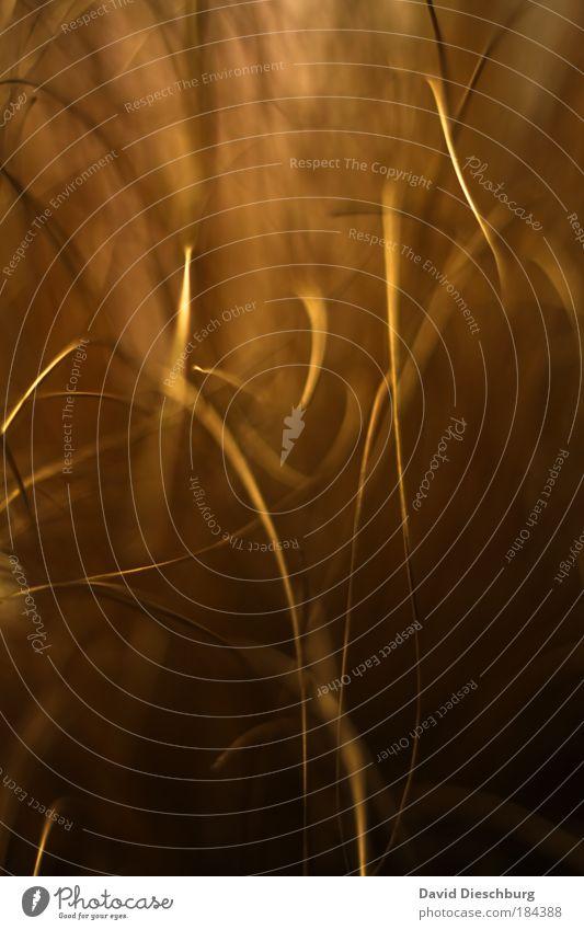 Barthaare eines Riesen Natur Pflanze schwarz Umwelt dunkel Herbst Gras hell Hintergrundbild gold Streifen Makroaufnahme Stengel Textfreiraum Halm