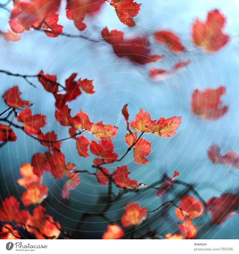 Erröten II Natur Baum rot Blatt ruhig Erholung Herbst Stil Park rosa außergewöhnlich Design frisch ästhetisch Sträucher Romantik