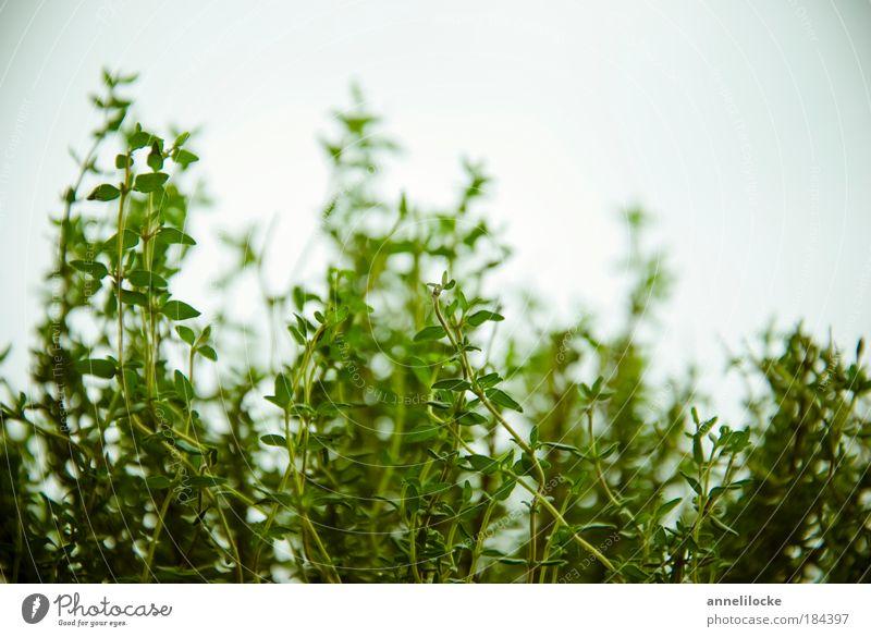 Küchenkraut grün Pflanze Blüte Gesundheit frisch Ernährung zart Heilpflanzen Kräuter & Gewürze Duft Bioprodukte Abendessen Mittagessen Grünpflanze Nutzpflanze