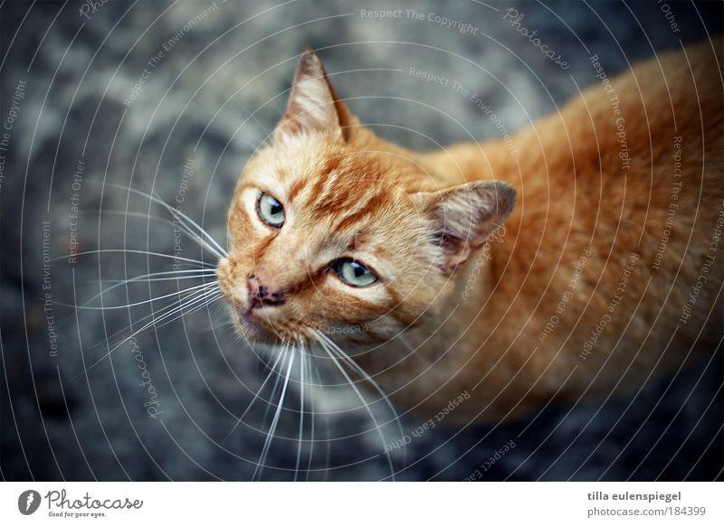 pussycat blau Tier Katze warten natürlich wild authentisch Tiergesicht Neugier beobachten Tierporträt Haustier Originalität Blick nach oben