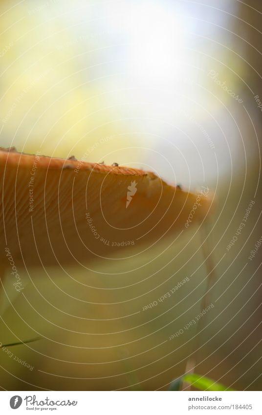 Pilzsuppe Makroaufnahme Textfreiraum oben Textfreiraum unten Sonnenlicht Gegenlicht Schwache Tiefenschärfe Froschperspektive Pilzhut Ernährung Bioprodukte