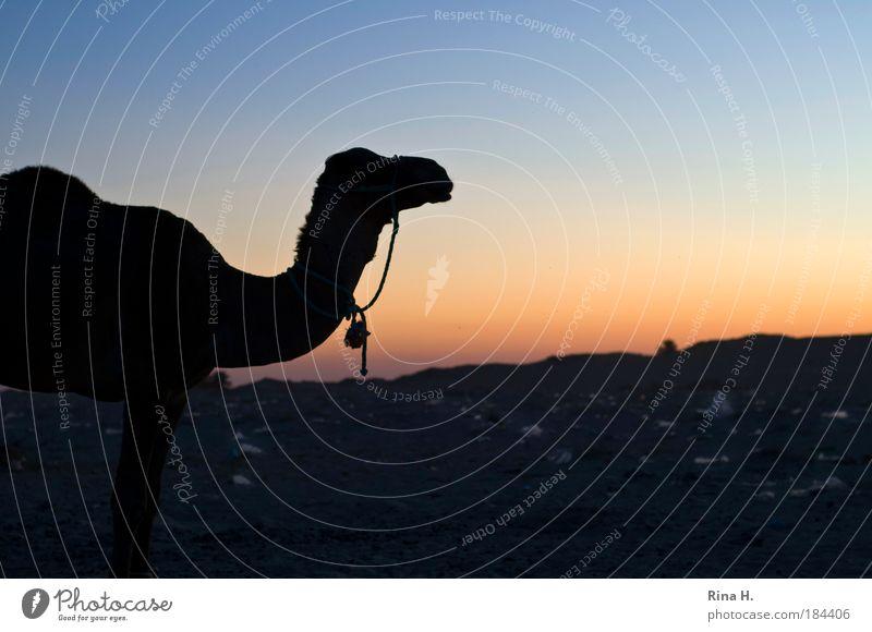 Sonnenuntergang mit Dromedar und Plastikmüll Natur Ferien & Urlaub & Reisen Einsamkeit Tier Sand Wärme Landschaft warten Armut Umwelt Hoffnung Tourismus Wüste Müll Mensch Kunststoff