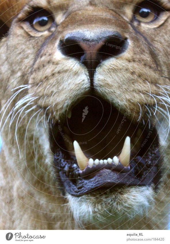 Maggie hat hunger Katze Tier Auge Angst Wildtier Gebiss Mut Jagd König Maul Safari Löwe Schnurrhaar Landraubtier Schnurren Fangzahn