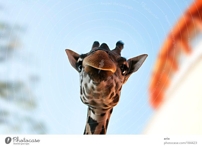 bist du aber klein... Farbfoto Außenaufnahme Textfreiraum oben Tag Schwache Tiefenschärfe Froschperspektive Tierporträt Blick in die Kamera elegant exotisch