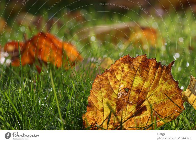 herbstlich... Umwelt Natur Pflanze Wassertropfen Herbst Gras Blatt Garten glänzend leuchten liegen dehydrieren authentisch klein nass natürlich braun gelb grün