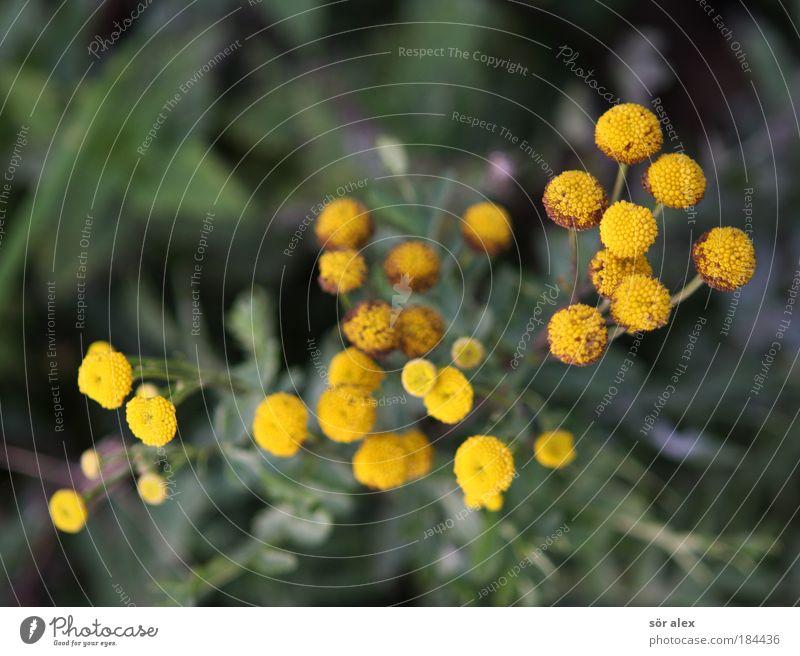 gelb-gespränkelt Natur grün Pflanze Blume ruhig Blüte Gesundheit Warmherzigkeit Gelassenheit Duft Leichtigkeit Heilpflanzen Nutzpflanze Wildpflanze