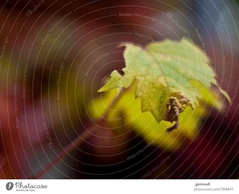 Vergänglich grün Blatt Herbst Vergänglichkeit Herbstlaub Herbstfärbung bordeaux Warme Farbe