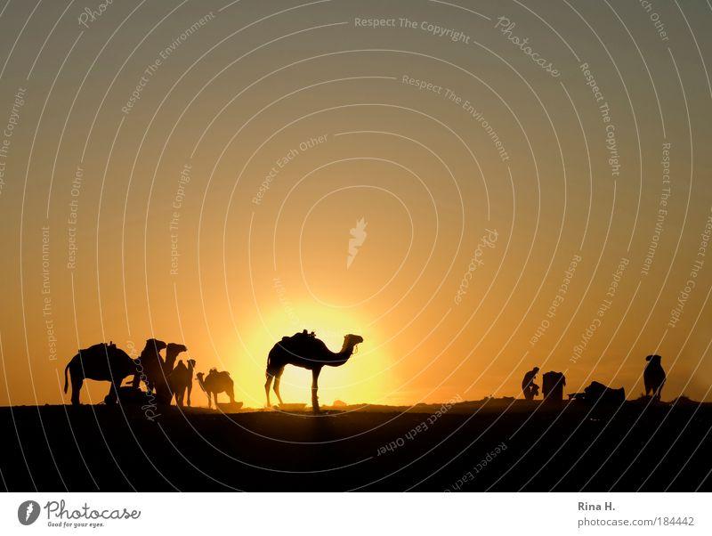 Sonnenuntergangskitsch Ferien & Urlaub & Reisen Tourismus Abenteuer Ferne Mann Erwachsene Natur Wolkenloser Himmel Sonnenaufgang Wärme Wüste Oase Dromedar Kamel