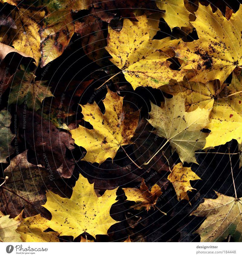 Naturtalent Farbfoto Nahaufnahme Detailaufnahme Menschenleer Textfreiraum links Umwelt Klima Wetter Wind Regen Pflanze Baum Blatt Laubbaum Ahorn Ahornblatt