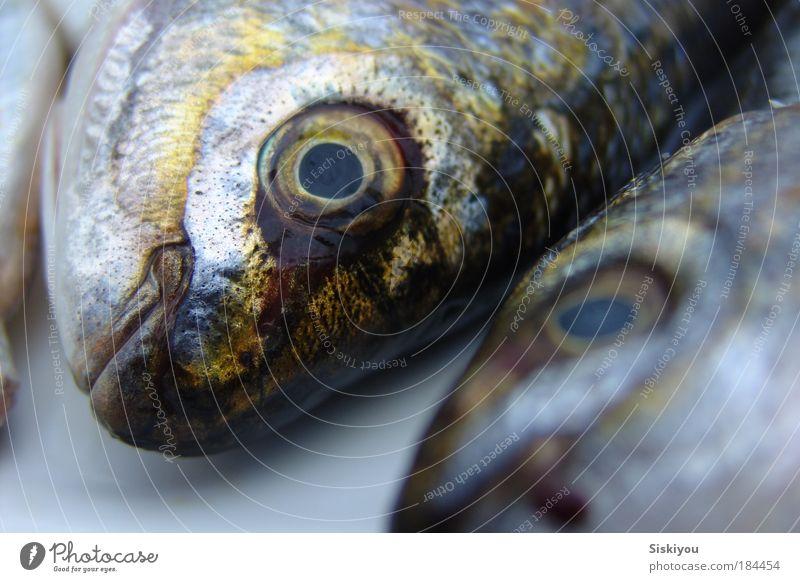 mute as a maggot Natur Wasser Meer blau schwarz Auge Tier Tod Tierpaar nass gold Fisch Ende Gastronomie lecker