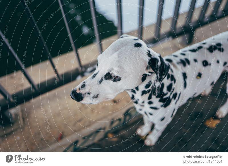 Dalmatiner. Tier Haustier Hund 1 beobachten stehen warten ästhetisch sportlich Freundlichkeit Stadt selbstbewußt Coolness Sicherheit loyal Tierliebe friedlich