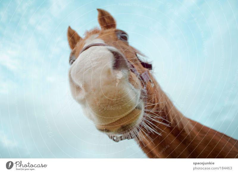 Sweet horse Himmel schön Tier braun Zufriedenheit Kraft elegant Froschperspektive ästhetisch Coolness Pferd niedlich Neugier Tiergesicht Tierporträt entdecken