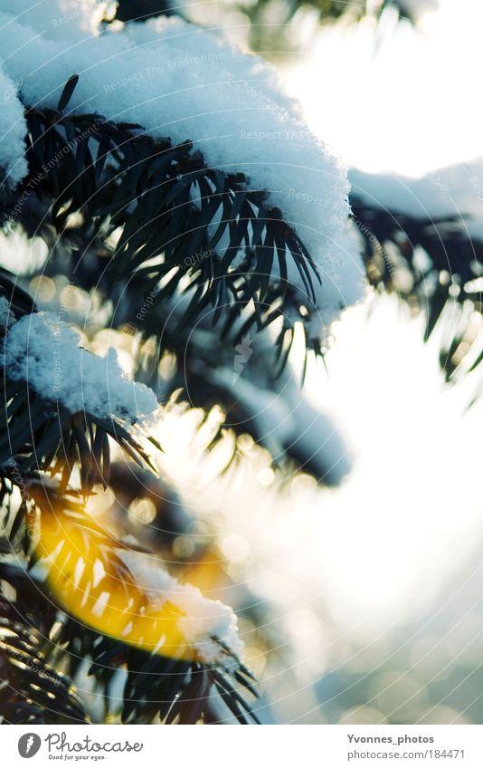 Schneeweiß schön Sonne Winter Natur Schönes Wetter Eis Frost hell kalt gelb Lichtpunkt Raureif gefroren Spaziergang Tanne Weihnachtsbaum Tannennadel