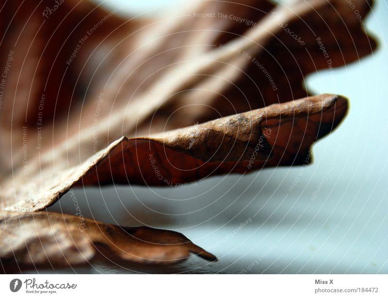 Dürr Natur alt Pflanze Blatt Herbst Tod Traurigkeit braun Umwelt trist Ende Vergänglichkeit Verfall trocken Schönes Wetter Schatten