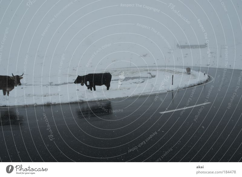 Nix zu futtern Ferien & Urlaub & Reisen schwarz Tier Straße kalt Schnee Wiese Berge u. Gebirge grau Schneefall Landschaft Eis Nebel Zeit Frost Tourismus
