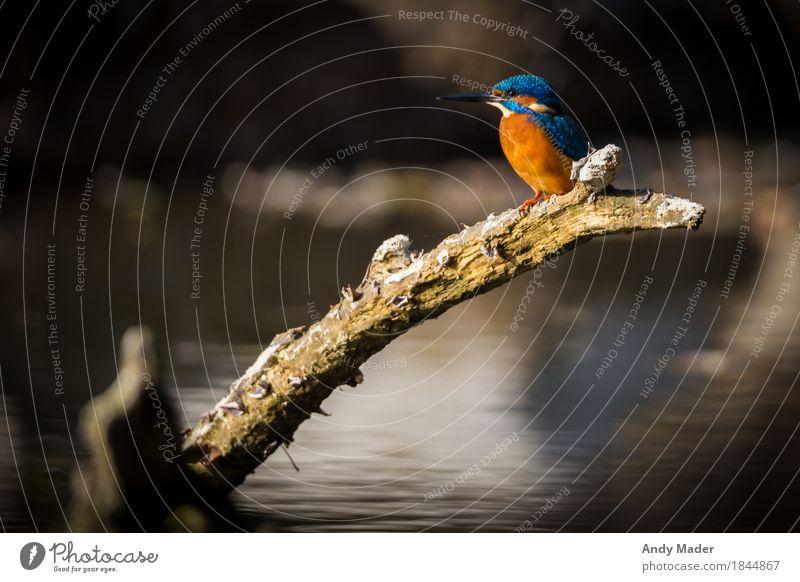 The Kingfisher ( Eisvogel ) Natur Tier Wasser Flussufer Wildtier Vogel 1 hocken leuchten glänzend blau orange small bird animal kingfisher wildlife colorful